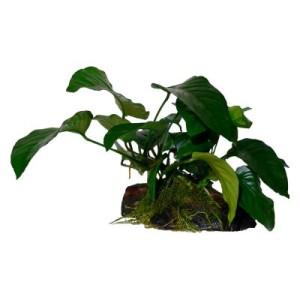 Anubias Mix auf Mangrovenholz Set - 2 Speerblätter (A.nana/A.barteri) auf Wurzel