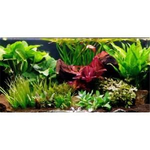 "Aquarienpflanzen Zooplants ""Grünes Theater XXL"" - 33 Pflanzen inkl. 3 XL Mutterpflanzen"
