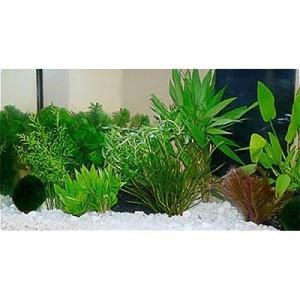 "Aquarienpflanzen Zooplants ""Guppy-Platy-Aquarium"" - 15 Pflanzen"