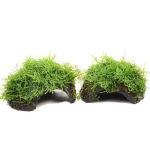 Aquarienpflanzen Zooplants Kokosnuss-Set - 4 x Javamoos auf Kokosnuss