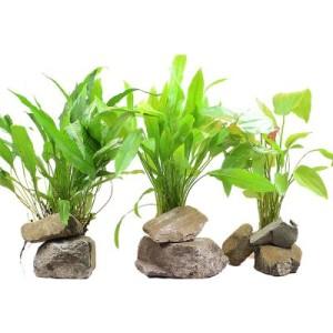 Aquarienpflanzen Zooplants XL Hintergrundpflanzen-Set - 3 Topfpflanzen